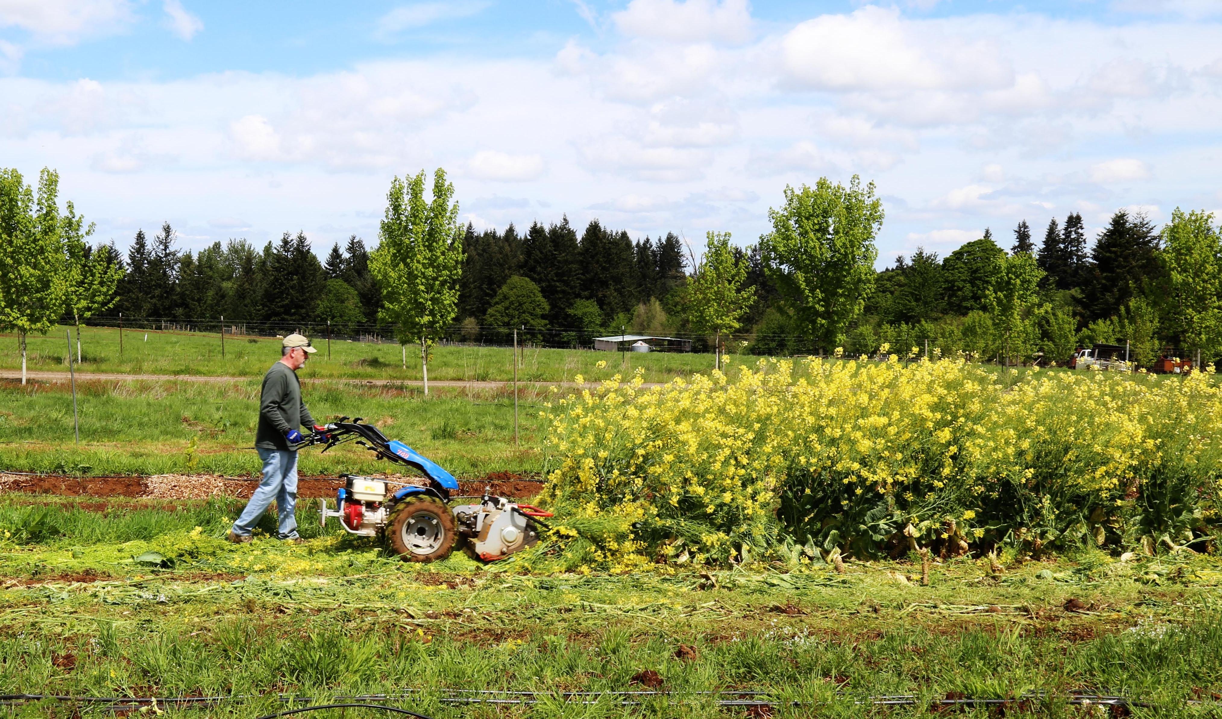 A farmer shreds spent kale plants with the BCS Flail Mower.