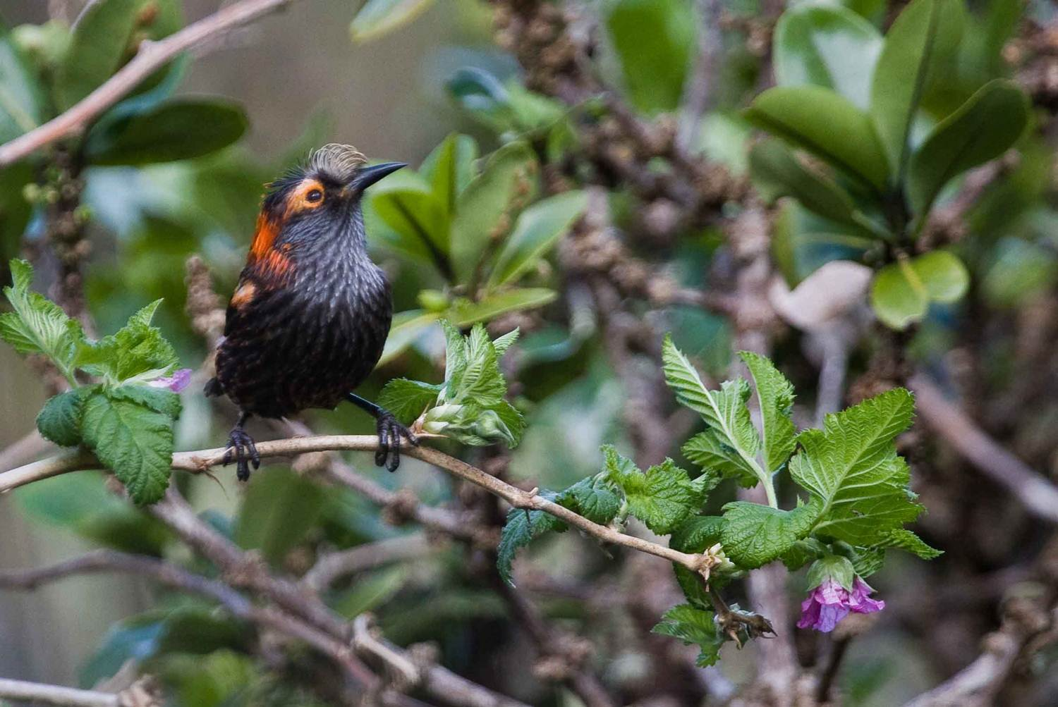 Partner of the month Maui Forest Bird Recovery Project