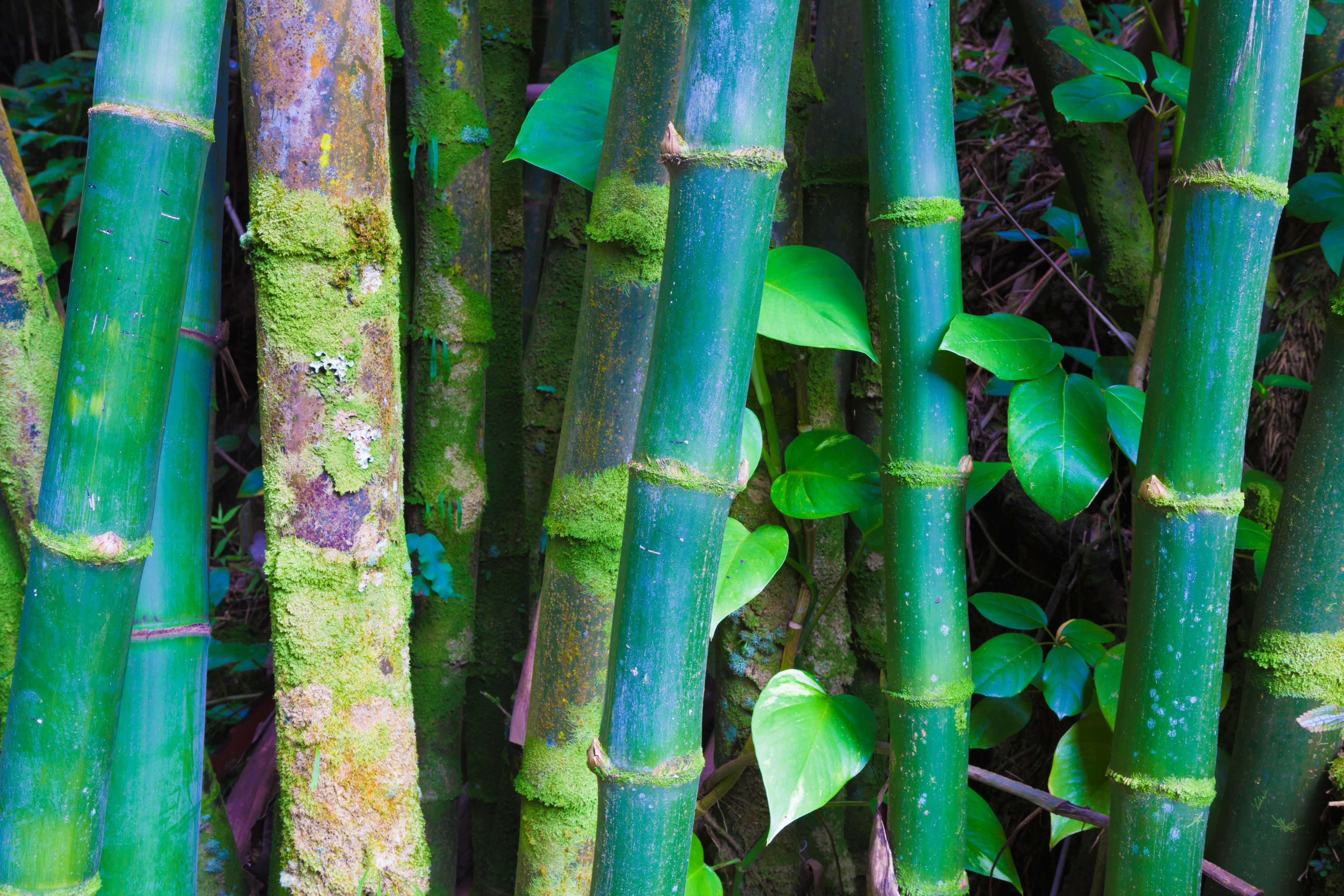 Bamboo forest in Hawaii
